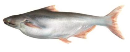 Basa indian sangot shingala simon peter fish company for What kind of fish is basa