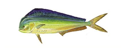 Mahi – Mahi / Dorado / Popat / Dolphin Fish