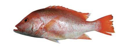 Red Snapper / Tamoshi / Tambusa / Chawra