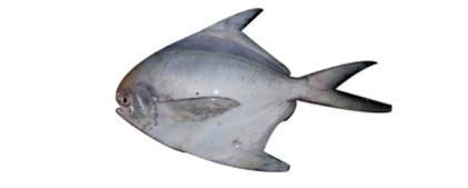Butter Fish / Khampi / Paplet / Silver Pomfret