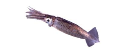 Squid / Mandki / Maklee