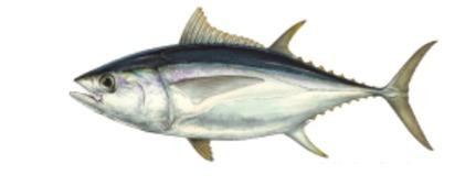 Yellow Fin Tuna / Bugdi / Bakado / Cupa