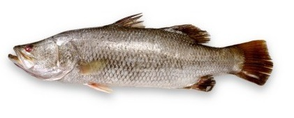 Barramundi / Chonok / Khajura / Sea Bass / Betki