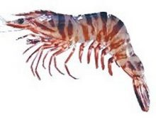Tiger Prawns / Sungot / Jhinga / Shrimps