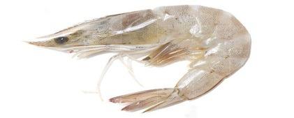 White Prawns / Sungot / Jhinga / Shrimps �C Simon Peter Fish Company421 x 169 jpeg 16kB